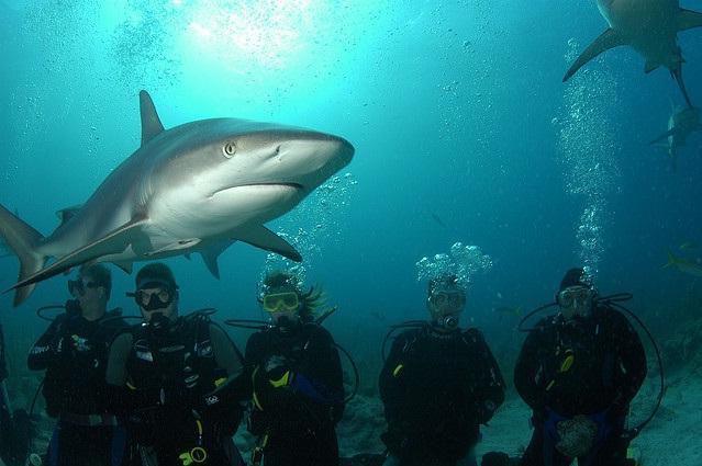 """Los tiburones pasan muy pero que muy cerca, deseosos de su """"alimento"""" buceo entre tiburones en las islas bahamas - Nassau shark diving0 - Buceo entre tiburones en las islas Bahamas"""