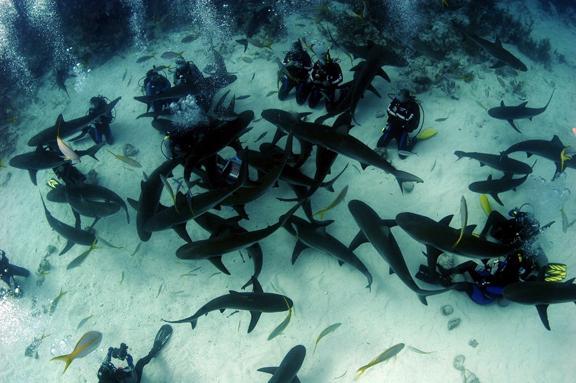 Tiburones acercandose curiosos a los buceadores
