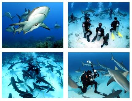 buceo entre tiburones en las islas bahamas - tibus - Buceo entre tiburones en las islas Bahamas