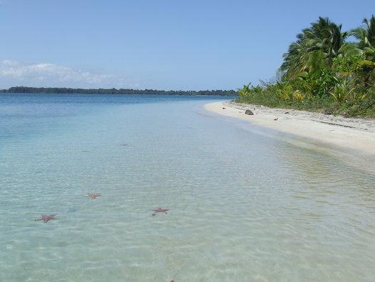 A muy poca profundidad, las estrellas de mar habitan en masa ésta paradisíaca playa panameña bocas del toro - playa estrella 1 - Bocas del Toro, escondido destino vírgen en Panamá