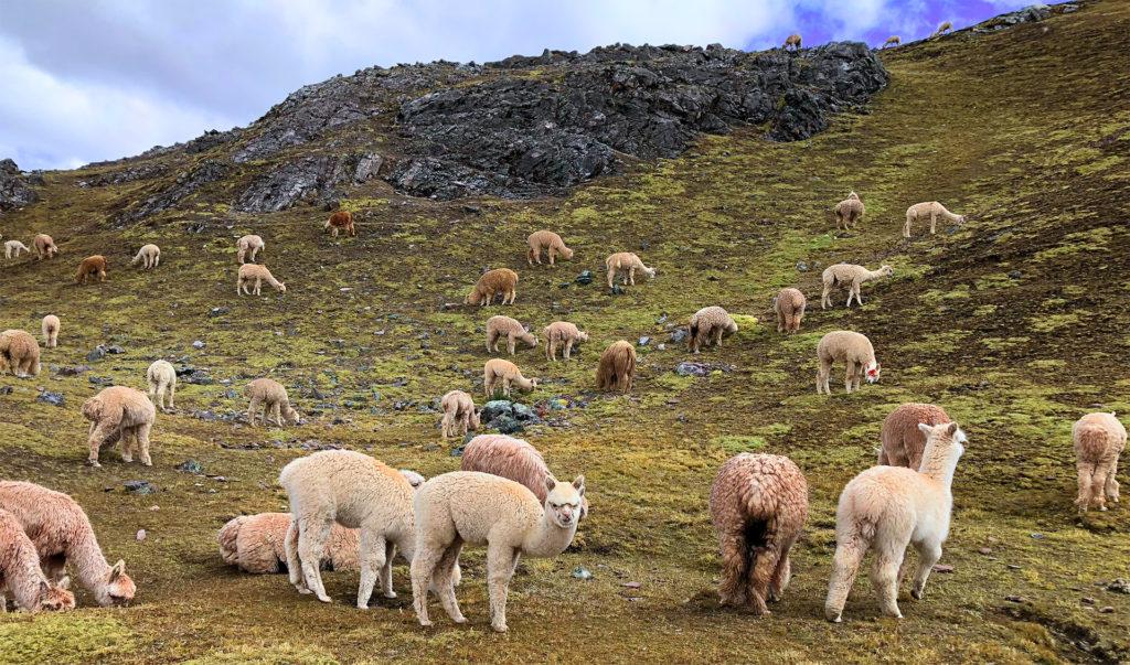 montaña arcoiris montaña arcoiris - montana colores palcoyo vinicunca peru cusco 18 1024x603 - Montaña Arcoiris de Perú, naturaleza multicolor