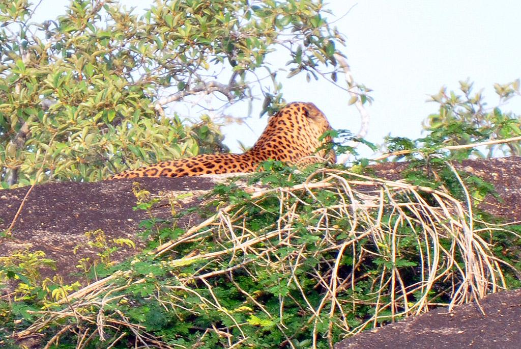 visitar el parque nacional de yala - thewotme yala sri lanka leopard leopardo chena huts - visitar el Parque Nacional de Yala en Sri Lanka